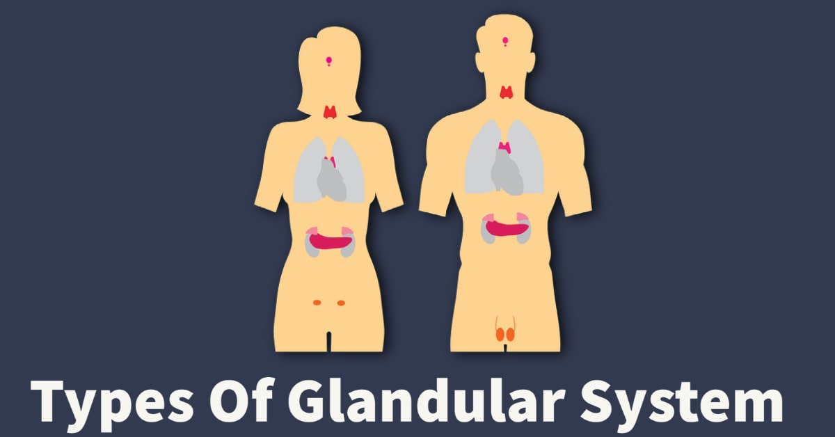 glands in male and female